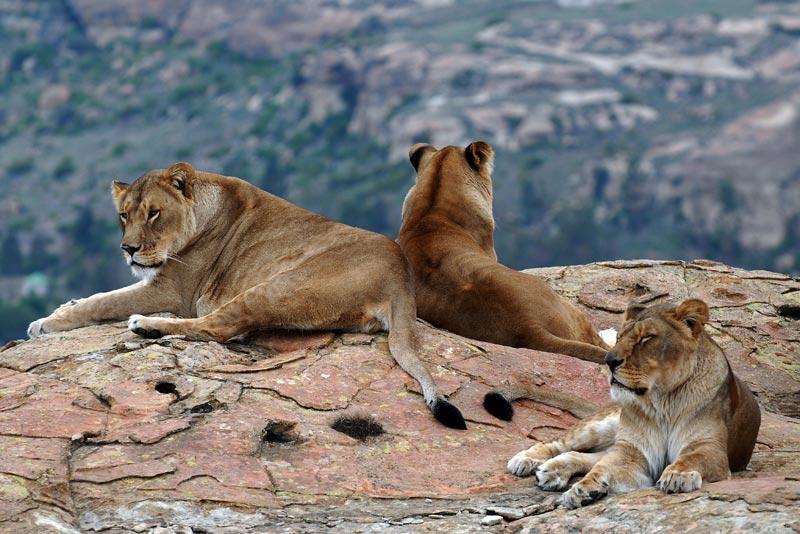 Lions Rock Big Cat Sanctuary