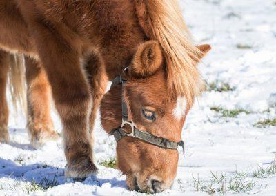 Pony-in-the-snow